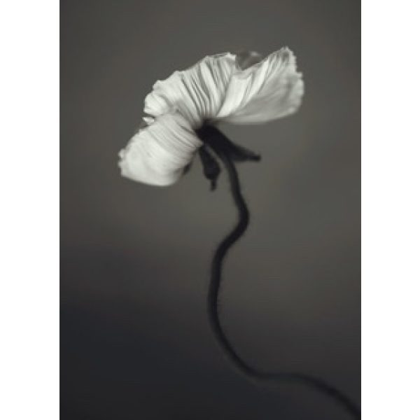 Papaver Poster 30x40 cm Storefactory My Home and More
